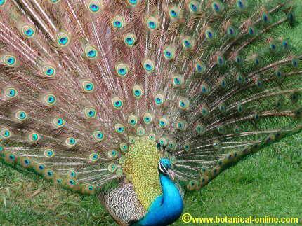 Las aves - Fotos de un pavo real ...