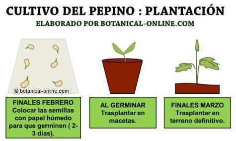 Cultivo y cuidados del pepino, plantar cucumis sativus