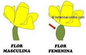 Flor masculina femenina del pepino