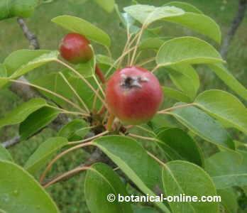 peral fruto