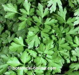 hojas de perejil