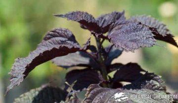 perilla frutescens purpurea