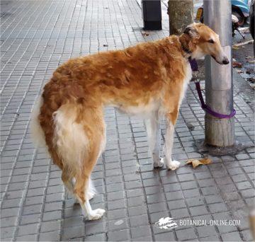 Borzoi raza canina
