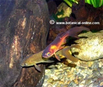 Lista de peces de agua fr a for Peces de agua fria carassius