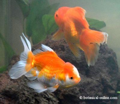 Variedades de pez rojo