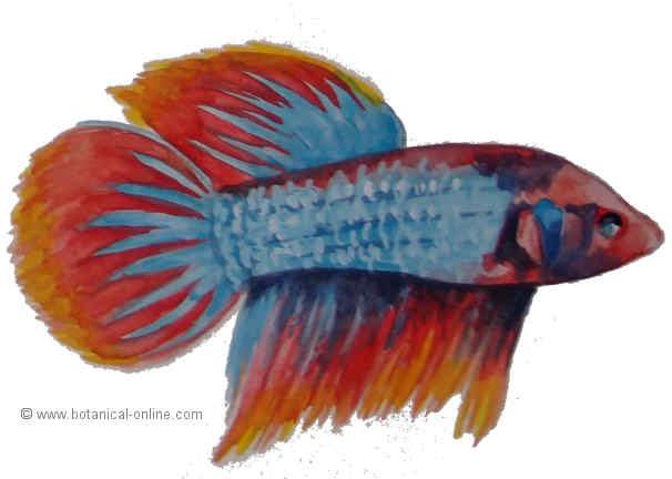 Dibujo de pez betta