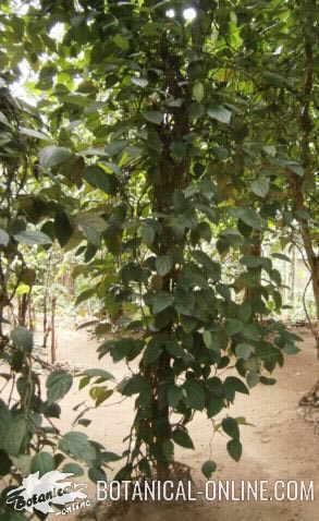 pimienta negra planta