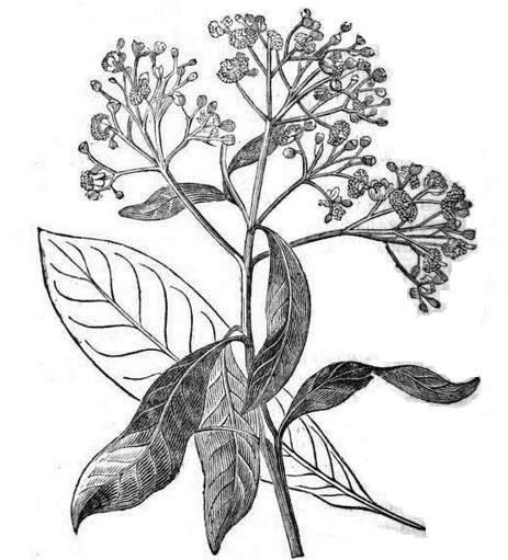 Botanical illustration black and white - photo#23