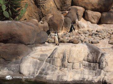 pingüino de Humboldt en su hábitat natural