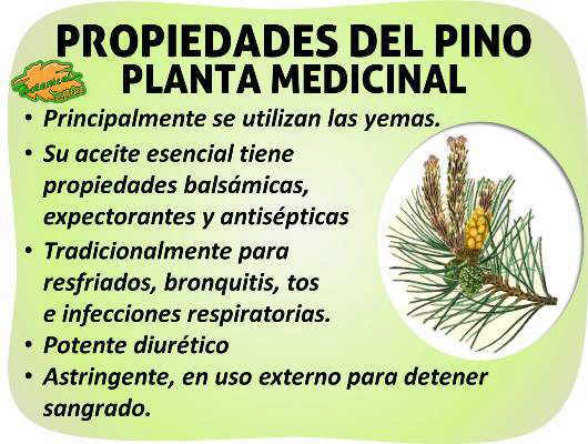 Propiedades medicinales del pino como planta medicinal