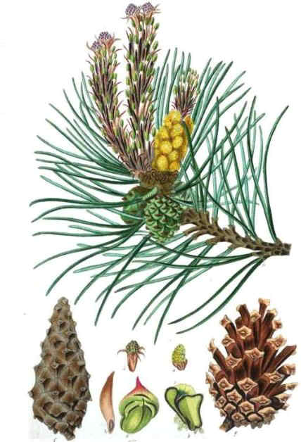 Drawing of Scots pine