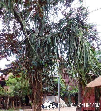 pitahaya planta epifitica cactus Hylocereus undatus