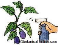 rociar las plantas con ajo contra las plagas