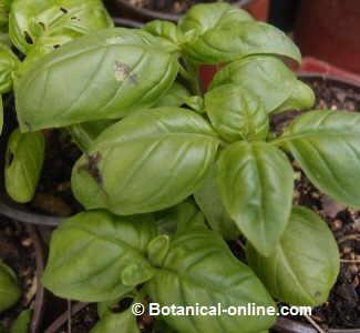 Cultivo albahaca