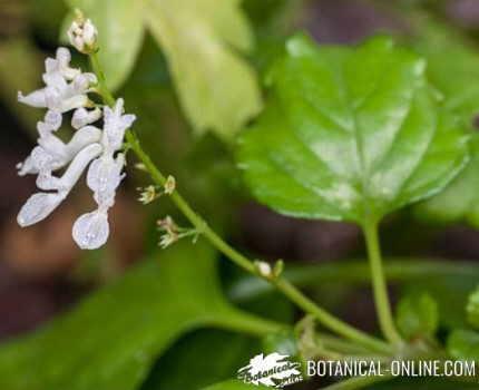 flor labiada planta del dinero Plectranthus verticillatus