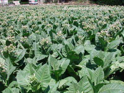 plantación d e tabaco