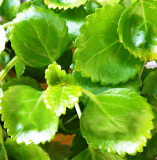 Swedish ivy leaves