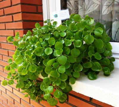 Cuidados de la planta del dinero - Tipos de plantas y sus cuidados ...