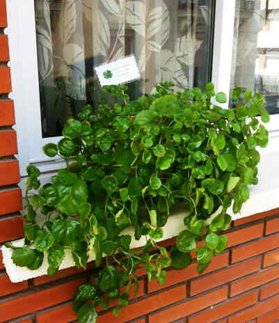 Swedish ivy on a window