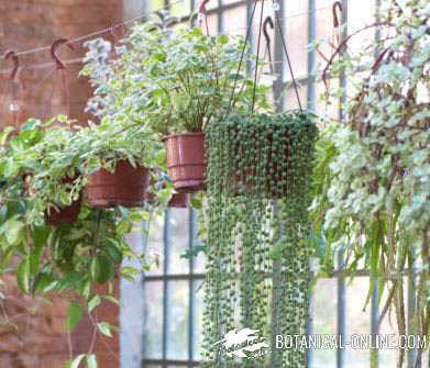 plantas de interior colgantes - Plantas Colgantes Exterior