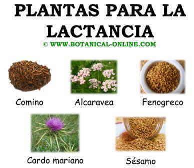 Remedios para tener m s leche for Para q sirven las plantas ornamentales