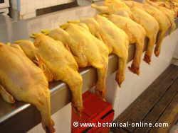 pollos poca higiene