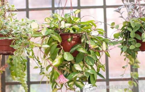 potos plantas de interior colgantes
