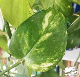 hojas variegadas del potos