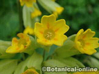 flor de la planta promavera