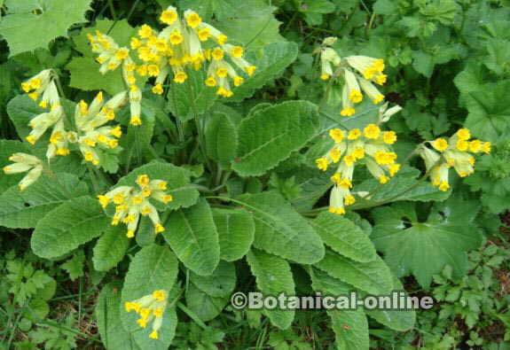 planta primavera