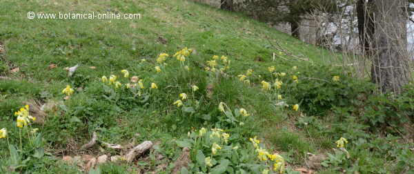 Primula veris, growing