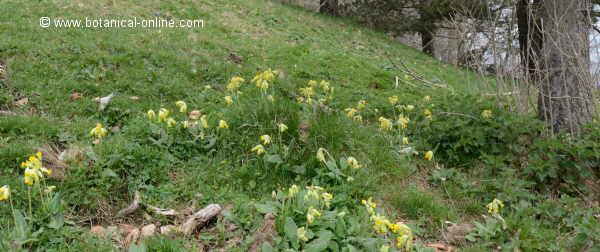 Primula veris, creciendo en el bosque