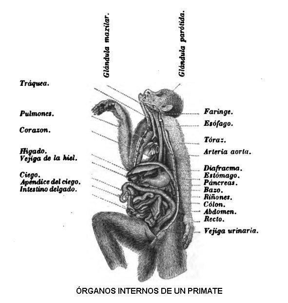 Anatomía de los primates