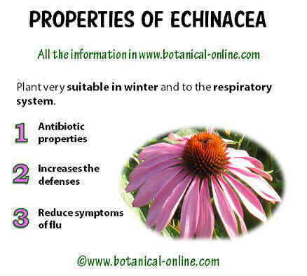 Properties of echinacea