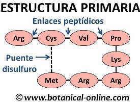 estructura primaria de las proteinas, enlace peptidico y disulfuro