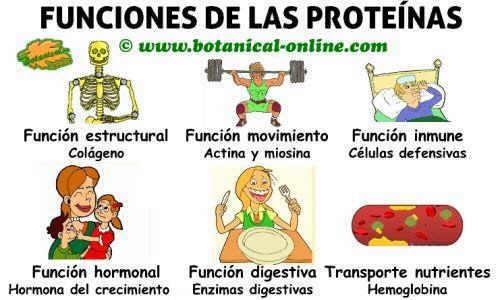 esquema de funciones de las proteinas en el cuerpo y propiedades