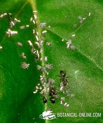 hormigas cultivando pulgones