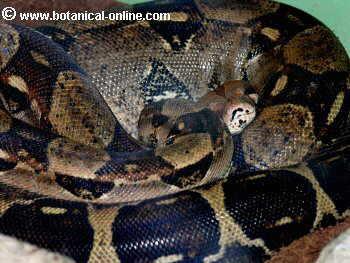 Pitón de la India o pitón tigrina (Python molurus)