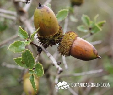bellotas y hojas de la coscoja (Quercus coccifera)