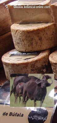 queso de bufala
