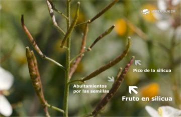 rabaniza fruto