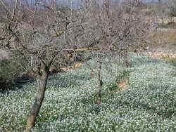Campo cultivado con rabaniza blanca