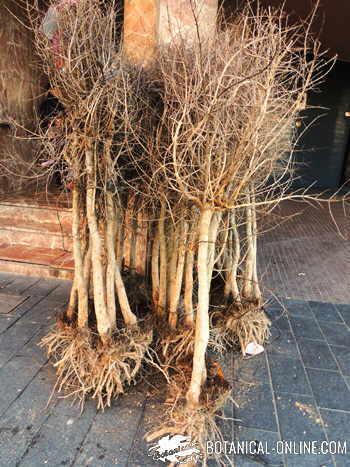venta de plantones raiz desnuda