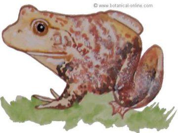 La rana toro es un tipo de rana de agua americana