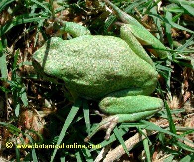 d86548608 Características de la ranita meridional – Botanical-online