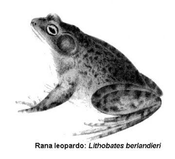 Imagen de rana leopardo