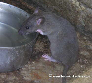 Rata bebiendo