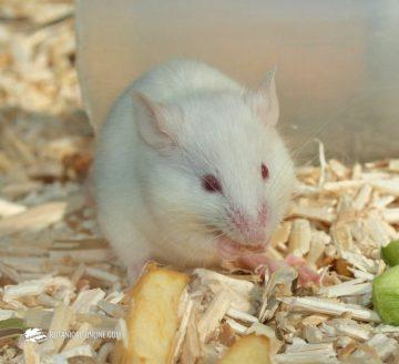 ratón mascota