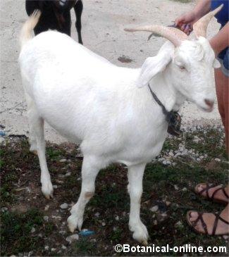 Raza cabra Saanen