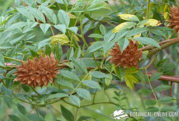 regaliz fruto planta